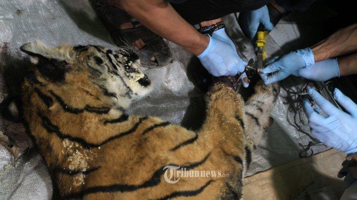 Ini yang Dilakukan Pegiat Lingkungan di Jambi untuk Peringati Hari Harimau Sedunia