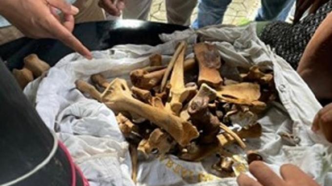 Transaksi di Kafe Bocor, Sindikat Penjualan Tulang-belulang dan Kulit Harimau Sumatera Dibekuk