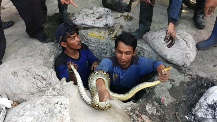ILUSTRASI - Seekor ular sanca kembang ditemukan petugas Suku Dinas Sumber Daya Air (SDA) Jakarta Utara, Jumat (28/6/2019) siang di gorong-gorong depan Rumah Sakit Port Medical Center, Jalan Enggano, Tanjung Priok, Jakarta Utara