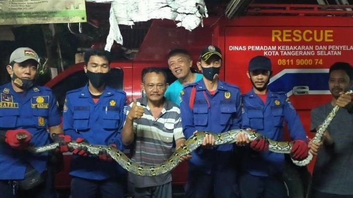 Di Kamar Mandi, Pria Ini Kaget Ada Kepala Ular Sanca Melongok, saat Dievakuasi Panjangnya 4 Meter