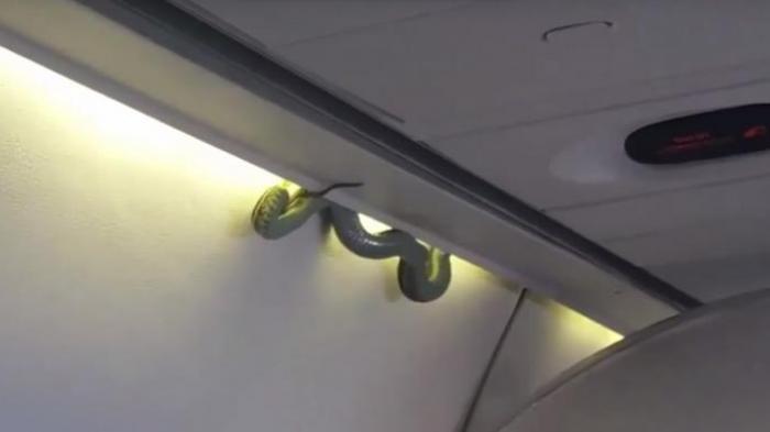 Ular Besar Merayap di Kabin Pesawat, Penumpang Panik