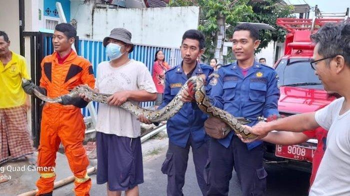 Petugas Damkar Tangkap Ular Sanca Sepanjang 3 Meter di Rumah Warga di Villa Mutiara Serpong