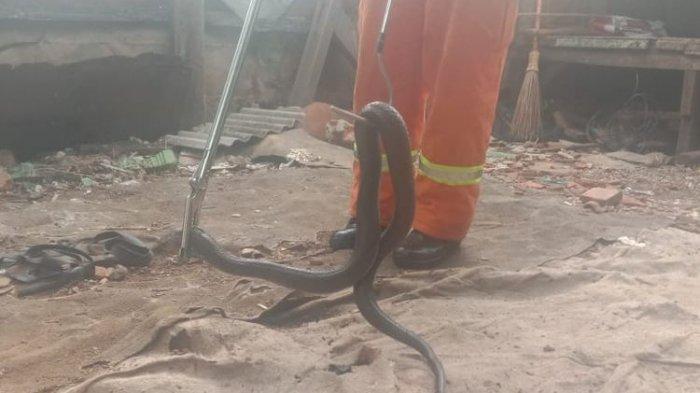 Ular kobra dewasa sepanjang 2 meter yang ditangkap penjaja nasi goreng di Kampung Poncol Jaya, Jakasampurna, Bekasi Barat dievakuasi pemadam kebakaran Kota Bekasi, Kamis (12/12/2019)