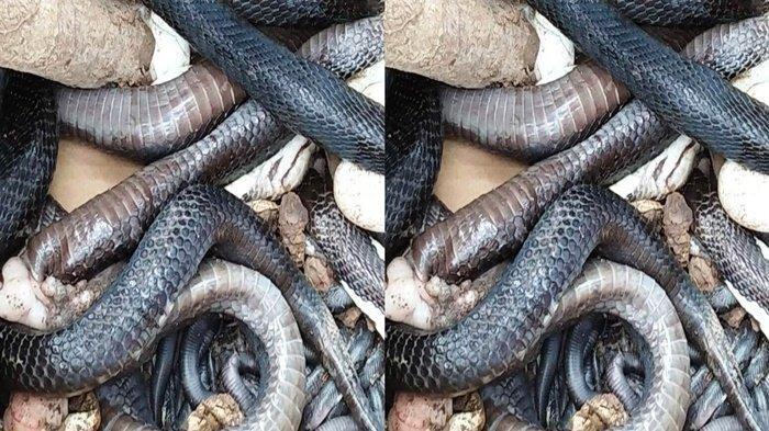 Geger Temuan Ular Kobra Ukuran 1,7 Meter di Tangsel, Petugas Damkar Turun Tangan Bongkar Sarangnya
