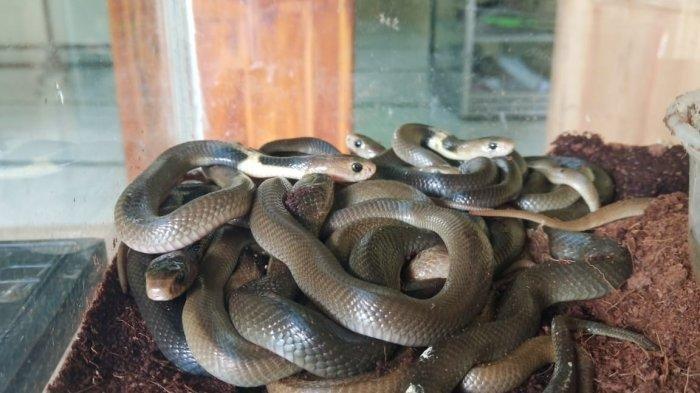 Penampakan sebagian anak ular kobra Jawa yang ditemukan di Masjid At Taqwa di Perumahan Griya Adi, Desa Palur, Kecamatan Mojolaban, Sukoharjo, Selasa (17/12/2019).