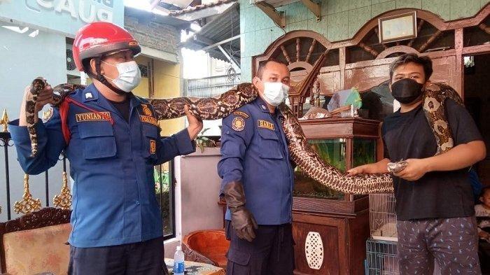 Ular Piton 6 Meter Lepas di Jakarta Timur, Sembunyi di Plafon Rumah Warga, Damkar Turun Tangan