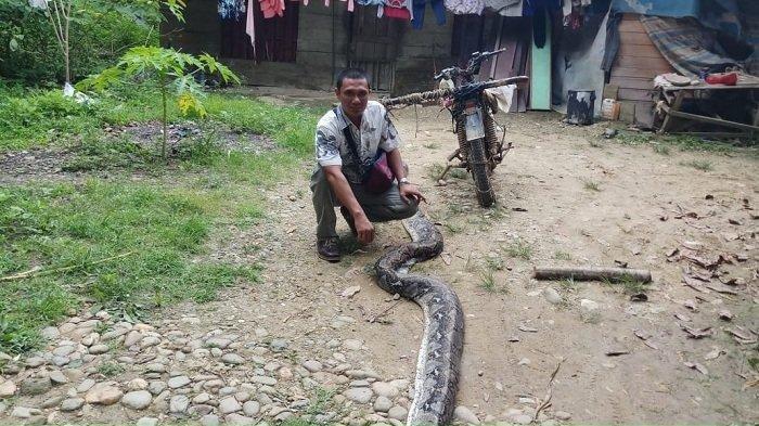 Ular piton melilit dan nyaris menelan korban warga Sukajadi Makmur, Langsa Baro.