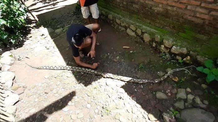 Ular piton yang memangsa unggas ditangkap oleh warga di Desa Senden