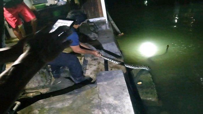 Ular Piton Sawo Kembang Ngumpet di Saluran Air Gemparkan Warga Carang Gantung Tuban