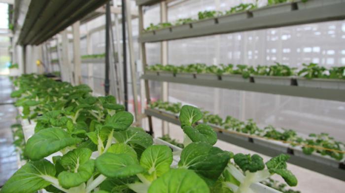Bercocok tanam aneka sayuran hijau di gedung bertingkat.