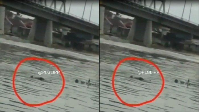 Viral Seekor Buaya Muncul di Sungai Musi Tempat Anak-anak Biasa Berenang, Warga Menyebutnya Si Buyut