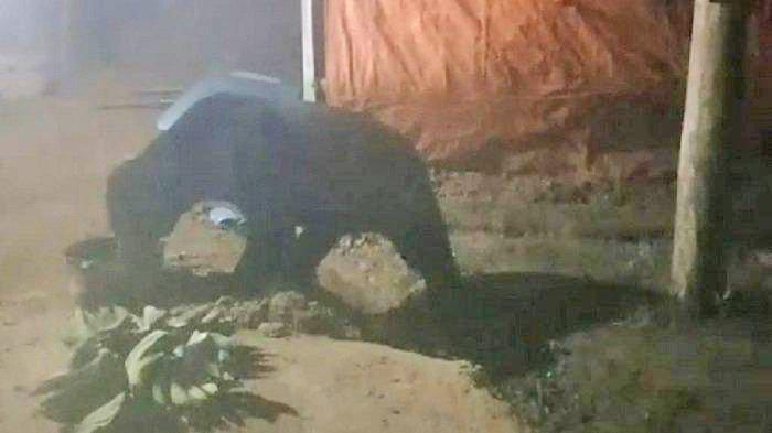 Geger Beruang Madu Berkeliaran di Permukiman Warga Santap Minyak Goreng Bekas di Solok