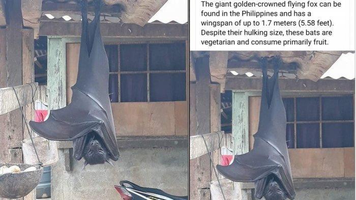 Viral Foto Kelelawar 'Seukuran Manusia' Bergelantungan di Rumah Warga, Ini Fakta Sebenarnya
