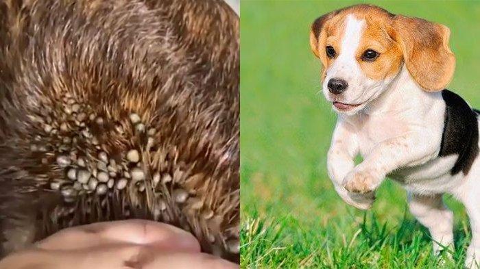 Viral Video Seekor Anjing Terkena Kutu Caplak Dog Lovers Berikan Tips Cara Mengatasinya Tribunnews Com Mobile
