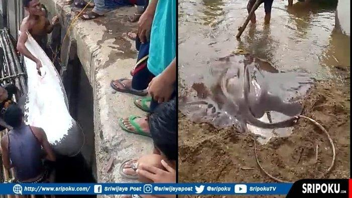 Warga Heboh Ikan Pari Raksasa Bobot 100 Kg Tertangkap di Sungai Ogan OKU.