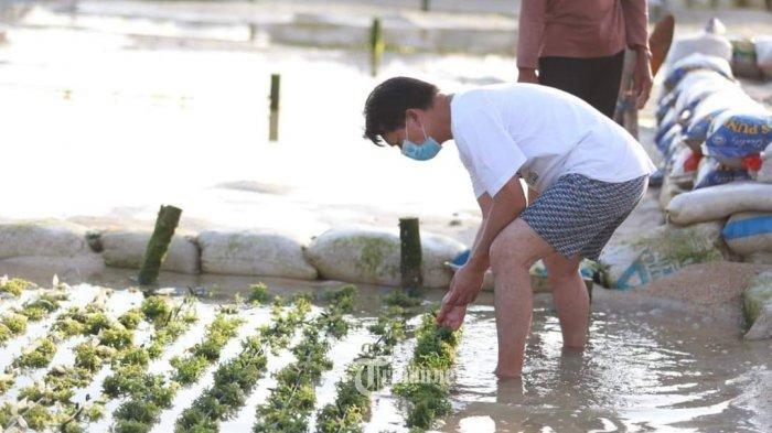 Pemkab Klungkung Siap Dukung Petani Rumput Laut Stabilkan Harga