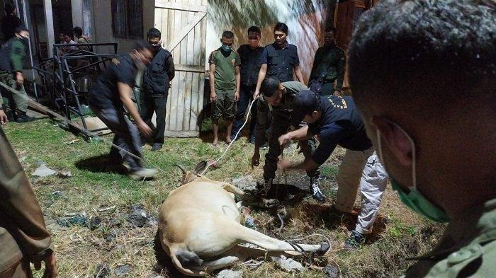 Kalangan Emak-emak di Meuraxa Aceh Bantu Satpol PP Tangkap 6 Sapi yang Berkeliaran di Desa
