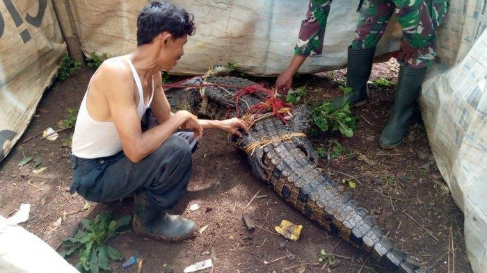4 Insiden Manusia Vs Buaya, Ditangkap Hidup di Kediri dan Bogor, Tewaskan Nelayan NTT dan Banyuasin