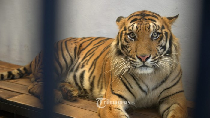 Tiga Ekor Harimau Muncul di Solok Selatan, Camat Imbau Warga Waspada dan Kurangi Aktivitas di Ladang