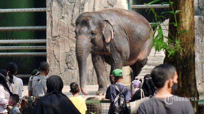 Pengunjung menyaksikan gajah Sumatera (Elephas maximus sumatranus) di Taman Margasatwa Ragunan, Jakarta Selatan, Jumat (14/5/2021). Pemprov DKI Jakarta pada libur Lebaran 2021 membuka sejumlah tempat wisata, salah satunya Taman Margasatwa Ragunan, namun hanya khusus bagi warga ber-KTP DKI Jakarta dan membatasi jumlah wisatawan dengan kapasitas 30 persen. Tribunnews/Herudin