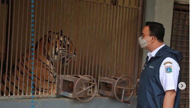 Fakta 2 Harimau Sumatera di Taman Margasatwa Ragunan Terpapar Covid-19 Hingga Dinyatakan Sembuh