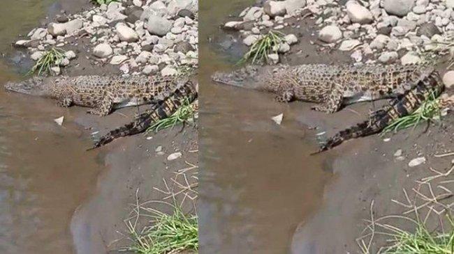 Warga Dikejutkan Penampakan Buaya Berjemur di Pinggir Sungai Tempuran Boyolali
