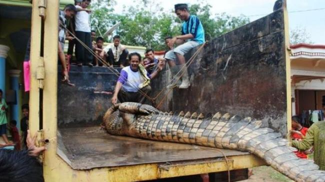 Tiga Nelayan Kaget Kala Jaringnya Menjerat Buaya Seberat 500 Kg