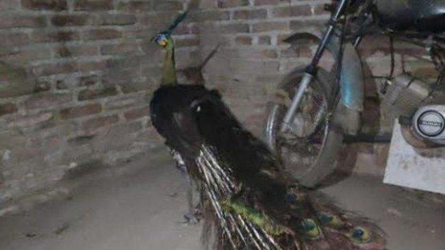 Burung Merak Hijau Ditemukan di Area Proyek Bandara Kediri, Dekat Pegunungan Wilis