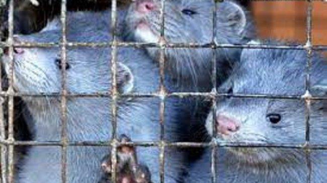 Lawan Covid-19, Finlandia Jadi Negara Pertama UE yang Vaksinasi Hewan Ternak Berbulu