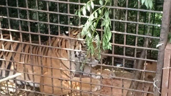 Remaja Tewas Diterkam Harimau di Hutan, Awalnya Ditemukan Bercak Darah di Tanah