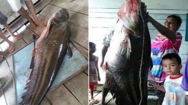 Ikan Monster Penyerang Pelajar Itu Akhirnya Dipotong-potong Warga