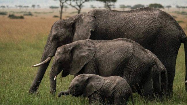 Hindari Konflik dengan Gajah, Warga Diminta Bersihkan Semak dan Jangan Tanam Pinam, Tebu dan Pisang