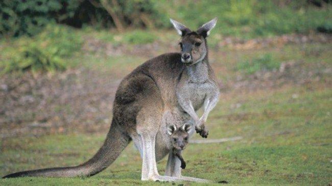 Dua Remaja di Australia Didakwa Membunuh 14 Kanguru, Terancam Penjara 5 Tahun