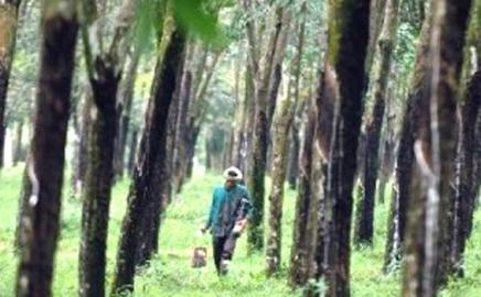20 Tahun Merugi, Bos Holding Perkebunan Cari Cara Selamatkan PTPN VIII dari Bisnis Teh