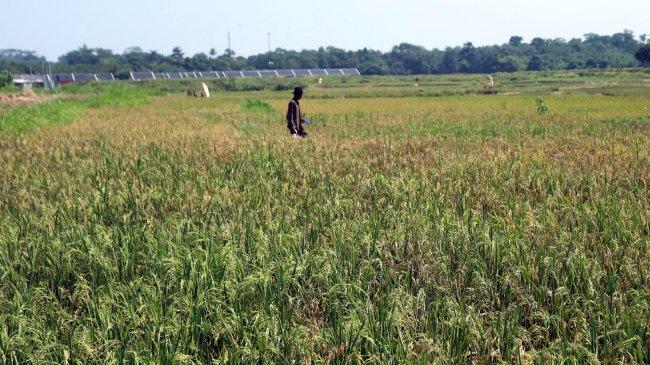 KSP Kawal Produksi Padi Bifortifikasi di Lampung