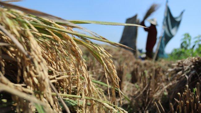 Survei Bank Indonesia: Sektor Pertanian Meningkat Disaat Sektor Lainya Menurun