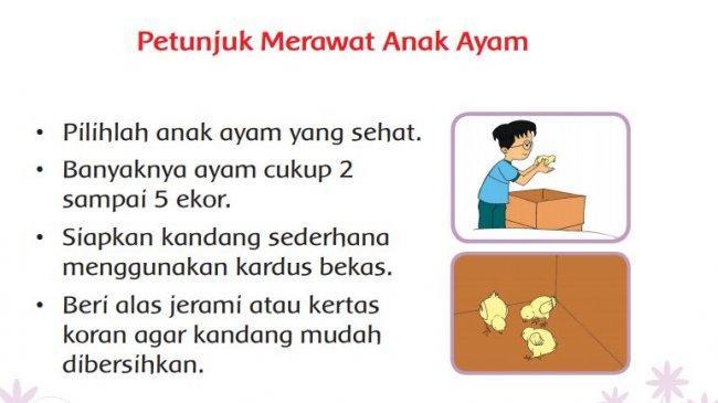 Kunci Jawaban Tema 2 Kelas 3 SD Halaman 176 180 181 Buku Tematik Pembelajaran 3: Merawat Anak Ayam