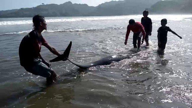 Bantu Evakuasi ke Tengah Laut, Wisatawan Digigit Lumba-lumba di Pantai Sidem Tulungagung