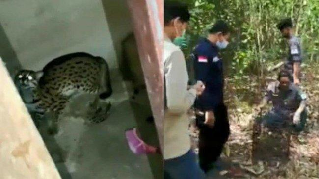 Diduga Kelaparan, Seekor Macan Akar Satroni Rumah Warga di Siak Riau