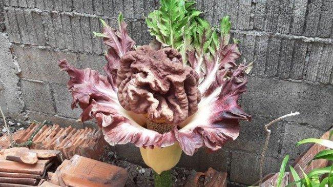 Fenomena Langka Tumbuhan Mirip Bunga Bangkai Mekar di Cipete, Tapos dan Pamulang