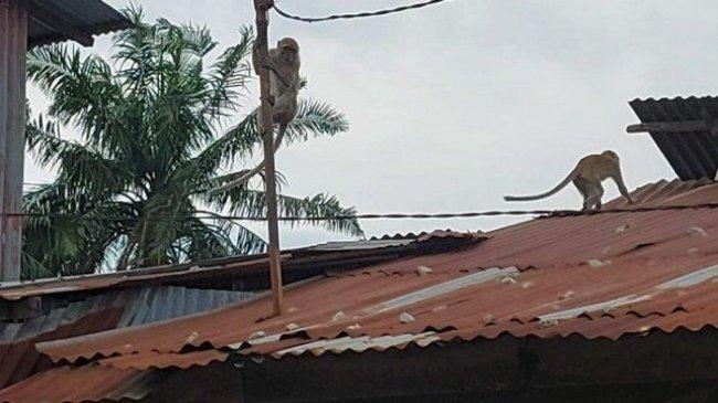 Ratusan Monyet Liar Serbu Pemukiman Lalu Mencuri, Warga Bandar Utama Kabupaten Tebing Tinggi Resah