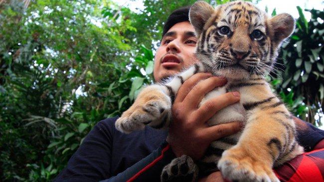 Alshad Ahmad Ceritakan Sulitnya Memelihara Harimau di Rumah