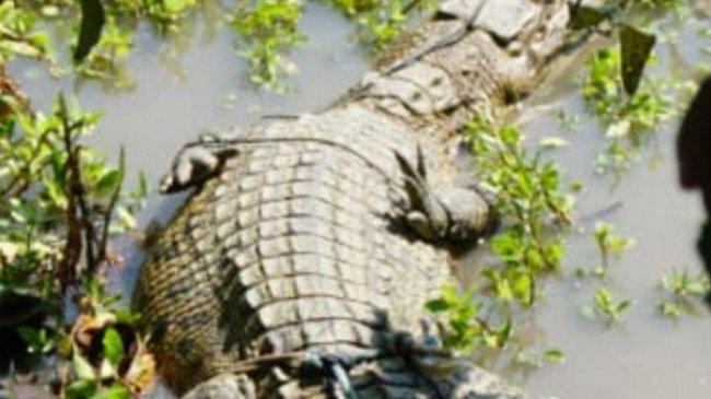 Hermansyah Hilang Diterkam Buaya di Sungai Tenggulang Musi Banyuasin, Warga Lakukan Pencarian