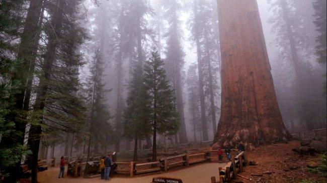 Pohon Terbesar di Dunia Dibungkus Aluminium Foil agar Tahan dari Kobaran Api