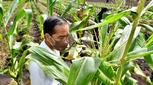 Aksi Jokowi di Papua, Makan Jagung di Pinggir Jalan hingga Kelebihan Bayar Saat Beli Pisang