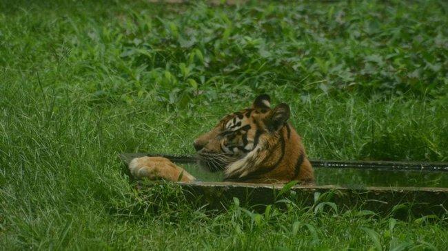 Remaja Meninggal Dunia Diterkam Harimau Sumatera di Siak, Berawal Saat Korban Cari Jaringan Seluler