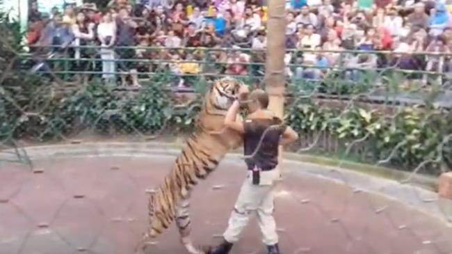 Atraksi Menegangkan Seorang Pria Menaklukkan Dua Harimau