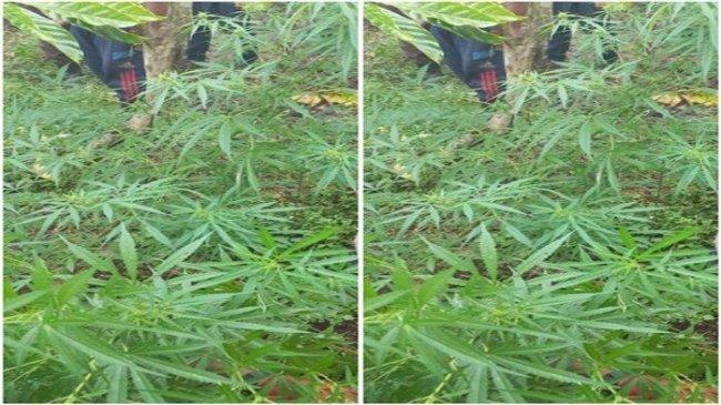 Ladang Ganja Ditemukan di Tengah Kebun Kopi Tanjung Sakti Lahat