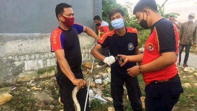 Teror Ular di Lamongan, Setelah Piton Sepanjang 5 Meter, Kini Dua Ekor King Kobra