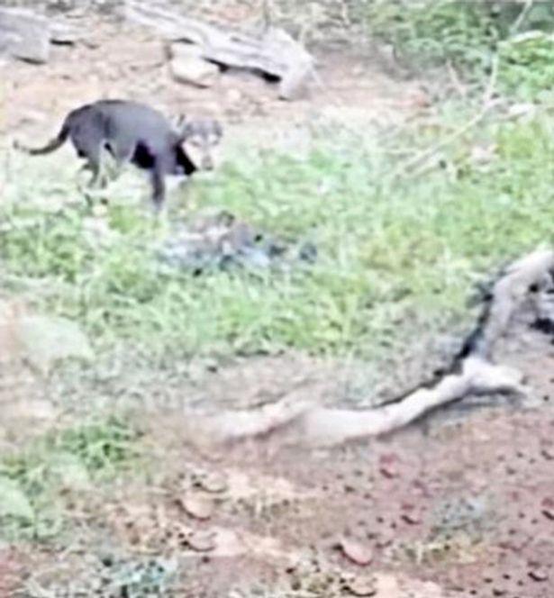 anjing liar memakan jasad tubuh, terekam oleh warga lokal